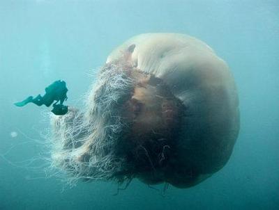 اجمل انواع قناديل البحر العالم 1700_1386784845.jpg